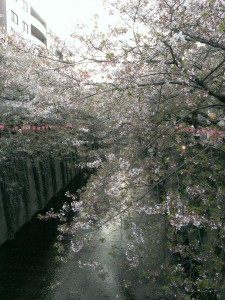 なかめ桜2