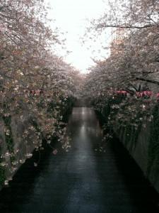 なかめ桜1
